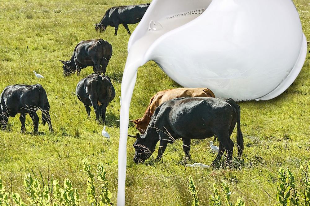 Kühe und Milch