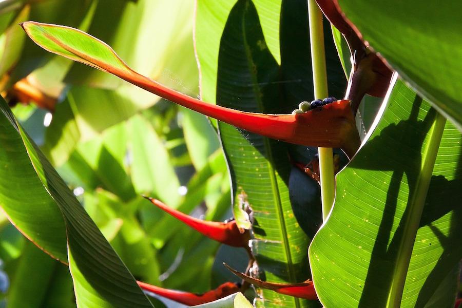 heliconia-latispatha-