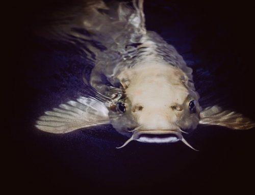 Steigende Wassertemperaturen bedrohen Vermehrung vieler Fischarten