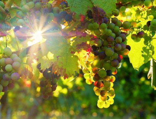 Wie Aroma-bildende Bakterien den Weingeschmack beeinflussen