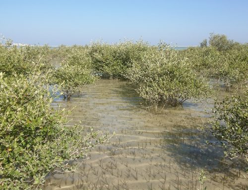 Wie die Mangroven im Oman verschwanden – Klimawandel ist die Ursache