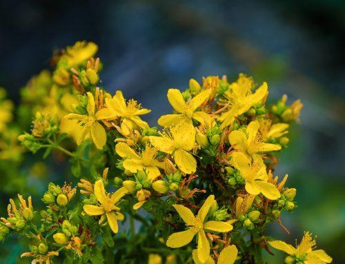 Blüten des Johanniskrautes dienen als grüner Katalysator