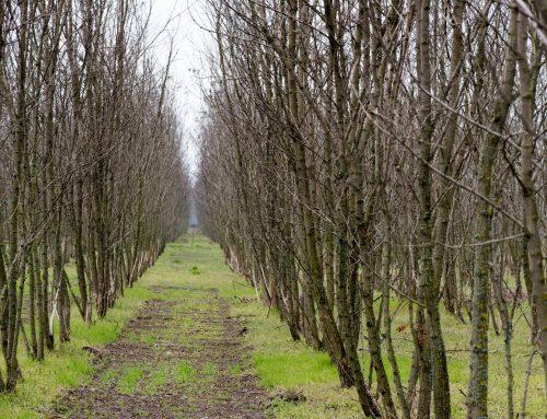 Hirse, Thymian und Felsenbirnen machen die Lausitzer Landwirtschaft fit für die Zukunft